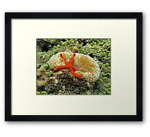 Underwater comet sea star on a sun anemone Framed Print