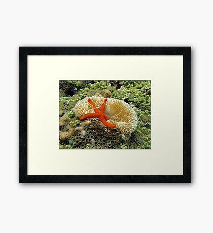 Underwater comet sea star on a sun anemone Framed Print