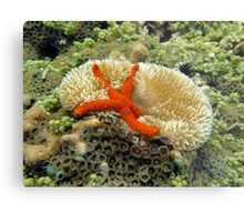 Underwater comet sea star on a sun anemone Metal Print