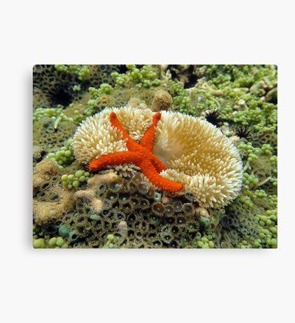 Underwater comet sea star on a sun anemone Canvas Print