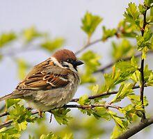 tree sparrow by Grandalf