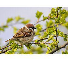 tree sparrow Photographic Print