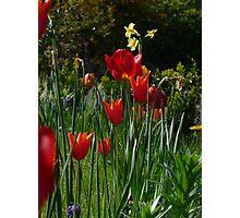 Low Tulip Photographic Print