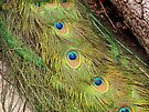 Peacock Feathers by Carol Bleasdale