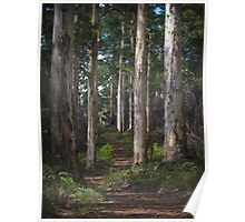 karri forest - pemberton, wa Poster