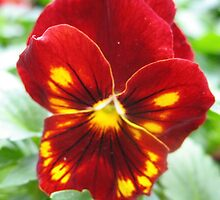 Flammable Pansy by MarianBendeth