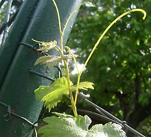 Grapevine leaves by Ana Belaj