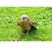 Common Kestrel ~ Uncommonly Attractive Photographic Print
