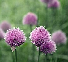 Chives by Amanda White