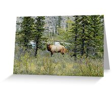 Looking at Me? - Bull Elk Greeting Card