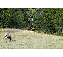 The Warden - Bull Elk and Cow Photographic Print