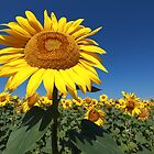 Sunflower 1 by VladimirFloyd