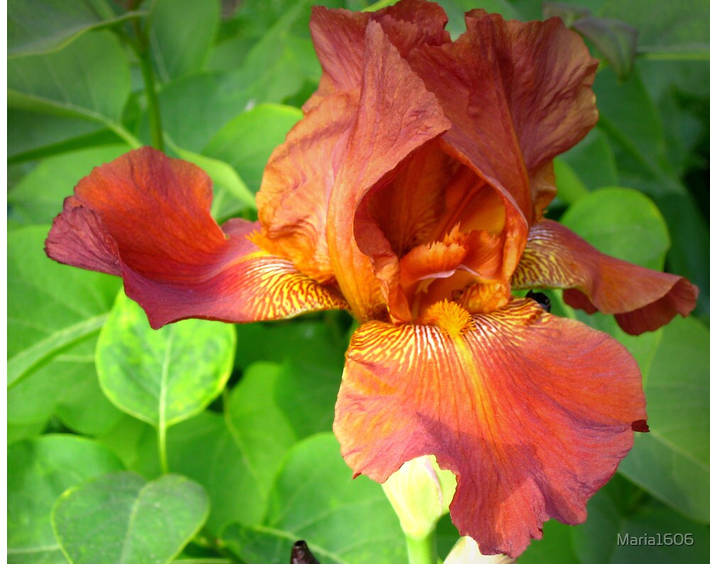 Copper-red iris by Maria1606