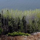 Poplars Blooming on the shore of Lake Superior by loralea