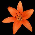 Orange Lily On Black Background by BlueMoonRose