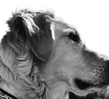Golden doodle black and white profile by joyfulphotos