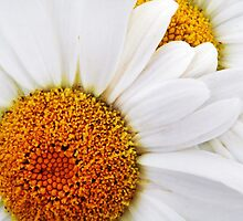 Daisy Duo by Laurie Minor