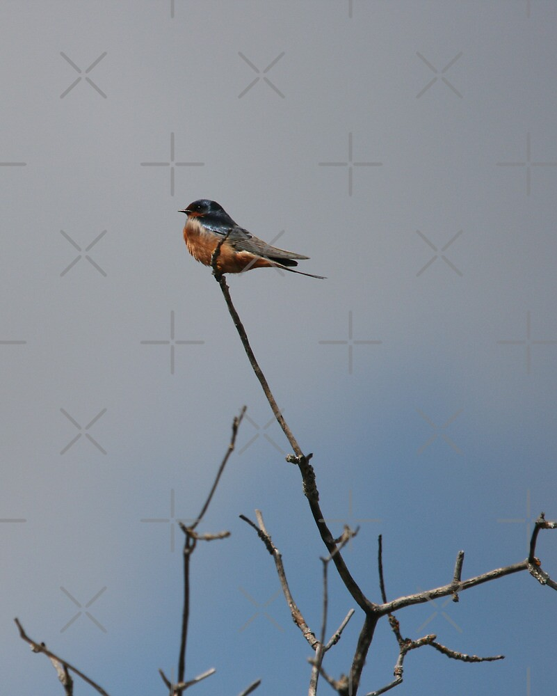 Lone Barn Swallow by Vickie Emms