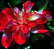 Dark Rose....... by lynn carter