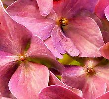 A Chorus of Hydrangea Pink by paintingsheep