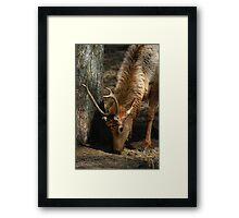 Young Male Elk Framed Print