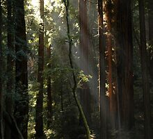 Redwood Light by kattand