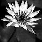 Mono Water Lily by Karen Scrimes