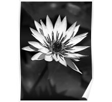 Mono Water Lily Poster