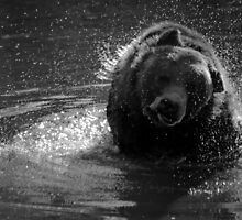 Grizzly Bear... by Adam J McKay