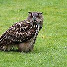 Eurasian Eagle-owl by Gili Orr