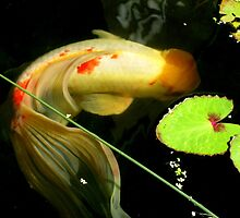 Koi with lovely tail. by Marilyn Baldey