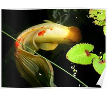Koi with lovely tail. Poster