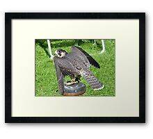 Bird of Prey 3 Framed Print