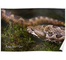 Long Nose Viper Poster
