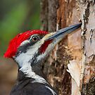 Pileated Portrait by Daniel  Parent
