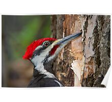 Pileated Portrait Poster