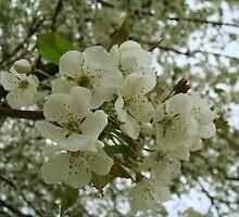 Heavenly Blossom #2 by Sandra Cockayne
