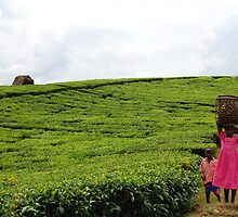 Ugandan Tea Plantation by Derek McMorrine