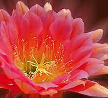 Pink Trichocereus Blossom by Linda Gregory