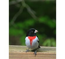 Male Rose-Breasted Grosbeak Photographic Print