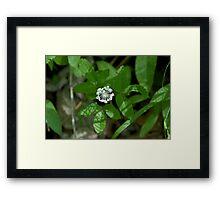 Dwarf Ginseng Framed Print