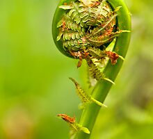 Fiddlehead by Claudia Kuhn
