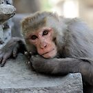 Rhesus Monkey by Derek McMorrine