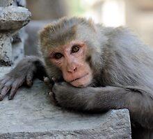 Rhesus Monkey by Derek McMorrine