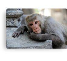 Rhesus Monkey Canvas Print