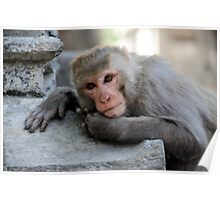 Rhesus Monkey Poster