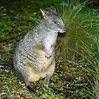 Rock Wallaby by Michael  Moss
