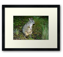 Rock Wallaby Framed Print