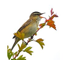 sedge warbler singing for her Photographic Print
