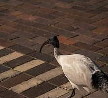 Watch Out! Ibis Crossing...bird in a Hurray! by Deborah McGrath